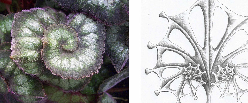 """comparativa de proceso creativo entre la hoja de una begonia escargot y dibujo y boceto para escultura """"escargot"""""""